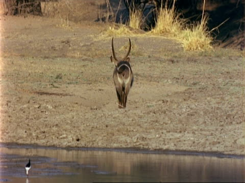waterbuck, wa walks away from pool, marking on backside - animal markings stock videos & royalty-free footage