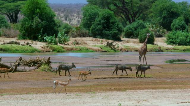 waterbuck's  impala & reticulated giraffe at ewaso nigiro river samburu  kenya  africa - antilope stock-videos und b-roll-filmmaterial