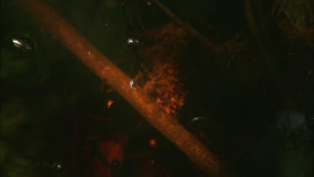 waterbugs skate across okefenokee swamp. - okefenokee national wildlife refuge stock videos and b-roll footage