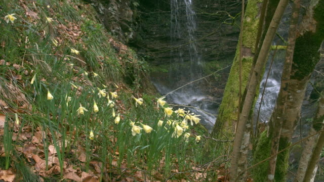 waterfall with narcissus