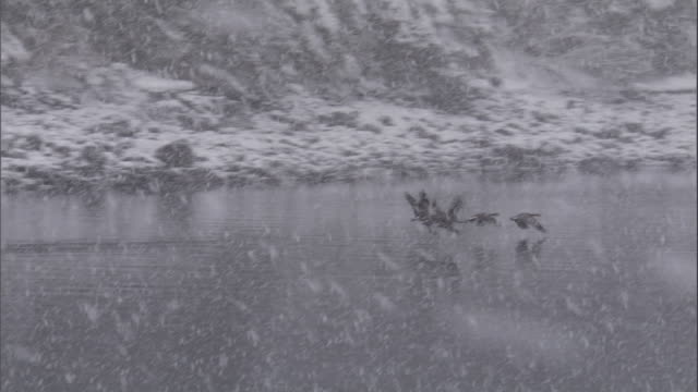 Waterfowl fly over water during snowstorm. Available in HD.