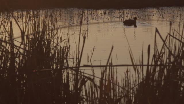 stockvideo's en b-roll-footage met l/s waterfowl in a wetland at sunset - koet