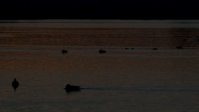 waterfowl on a lake at sunrise - lancaster county pennsylvania stock videos & royalty-free footage