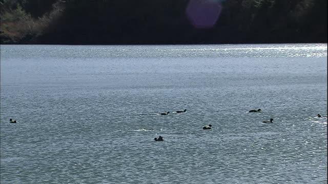 Waterfowl swim in Lake Saiko in the Fuji Hakone Izu National Park in Yamanashi, Japan.