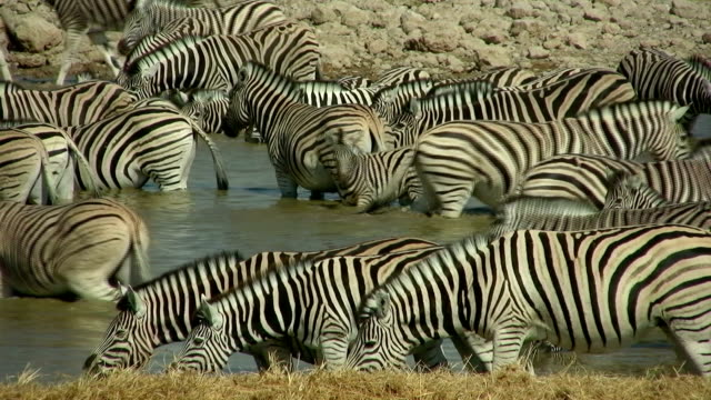 waterhole_zebra - pond stock videos & royalty-free footage