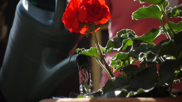 watering a geranium pot. - pot plant stock videos and b-roll footage