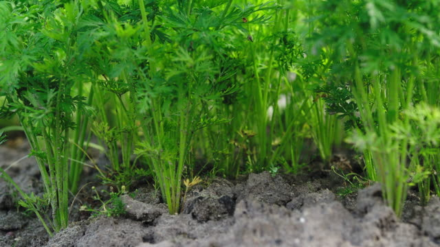vídeos y material grabado en eventos de stock de riego de plantas de zanahoria - zanahoria