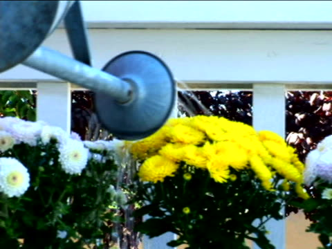 watering chrysanthemums - beccuccio video stock e b–roll