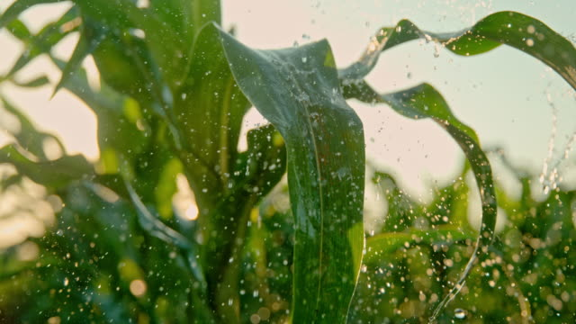super slo mo watering corn plants on the field - weather stock videos & royalty-free footage