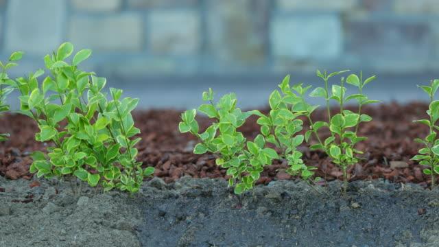 watering fertilized ligustrum ovalifolium 'aureum' - pour spout stock videos & royalty-free footage