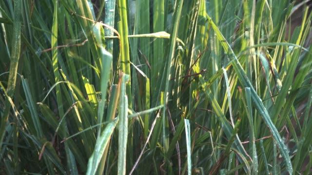 bewässerung für zitronengras pflanze - bamboo plant stock-videos und b-roll-filmmaterial