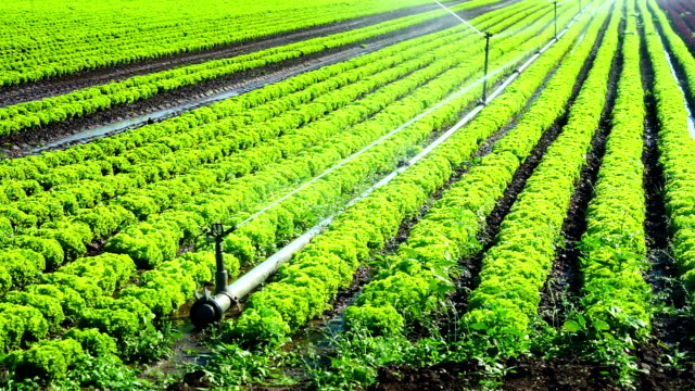 Watering Fresh Lettuce