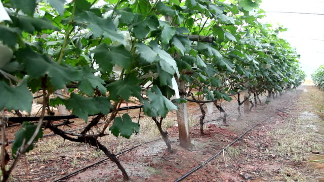 watering grape garden in the green house