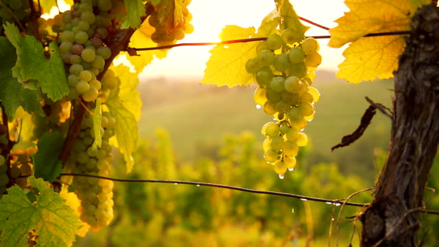 hd super slow-mo: watering grapes in a vineyard - vine stock videos & royalty-free footage