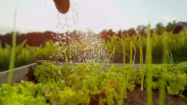 slo mo watering heads of lettuce in a garden - gardening stock videos & royalty-free footage