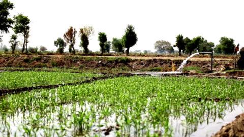 bewässerung in sorghum ernte - sorghum stock-videos und b-roll-filmmaterial