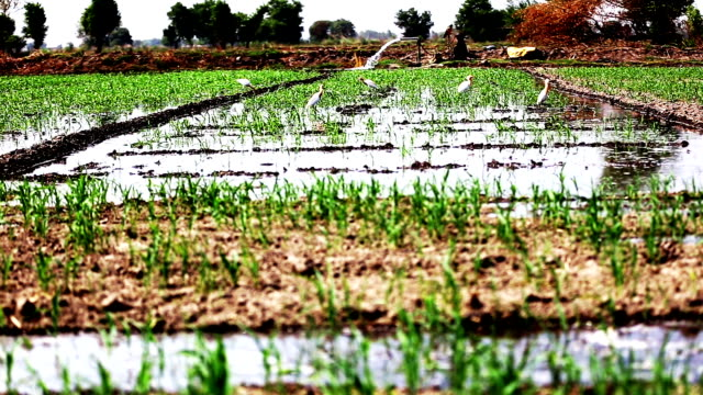 watering in sorghum crop - sorghum stock videos & royalty-free footage