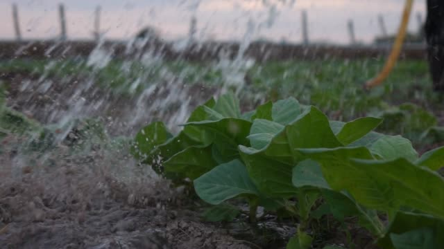 watering in tobacco farm slow motion - tobacco product stock videos & royalty-free footage