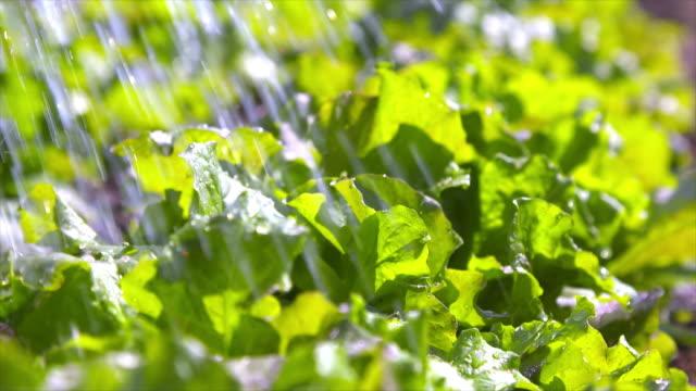 vídeos de stock, filmes e b-roll de watering lettuce in the vegetable garden - fazendola