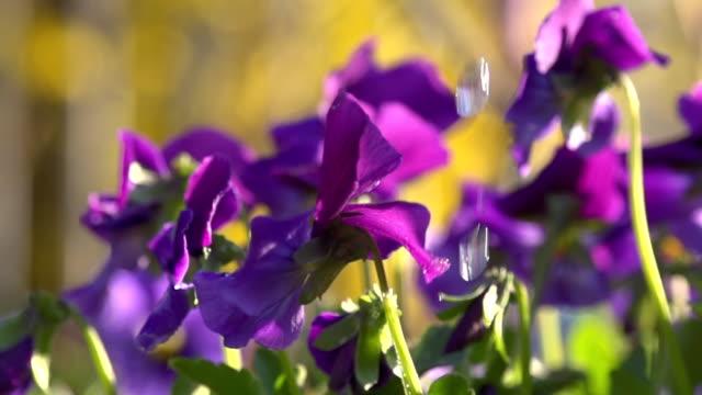 vidéos et rushes de hd super slow-motion: arroser fleurs pourpre - violet