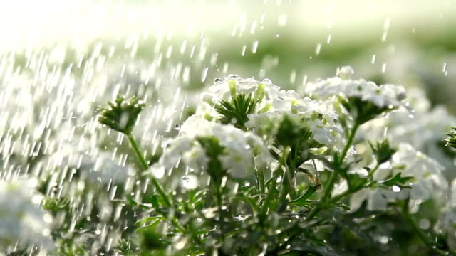 stockvideo's en b-roll-footage met hd super slow-mo: watering the flowers - water geven