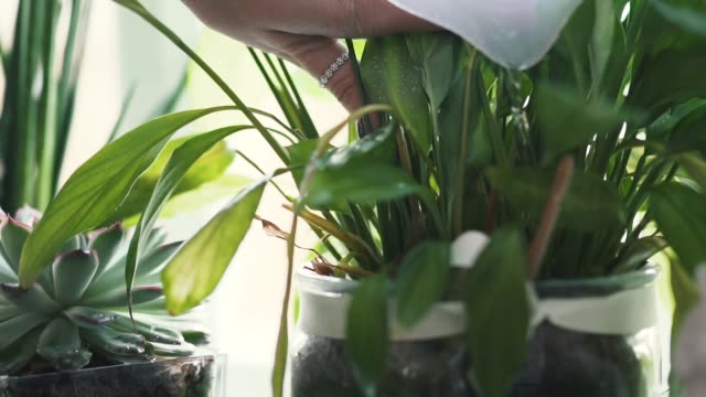 vídeos de stock, filmes e b-roll de regar as plantas - planta de interior