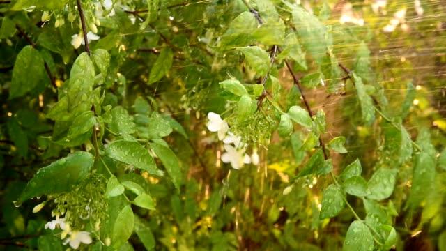 watering White Snowflake Flower or Wrightia antidysenterica
