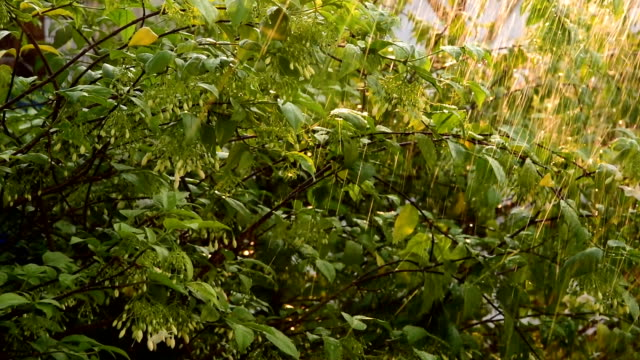 watering  wrightia religiosa - watering can stock videos and b-roll footage
