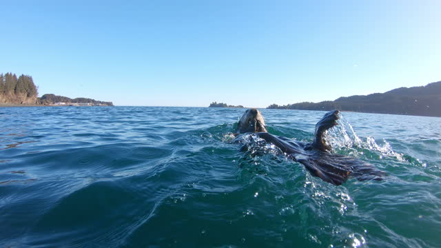 waterlevel ms into cu track with sea otter eating in bay - otter stock videos & royalty-free footage