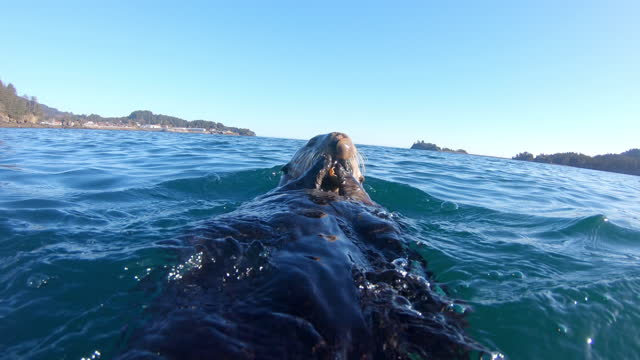 waterlevel cu into ms track with sea otter eating shellfish in bay then diving - crustacean stock videos & royalty-free footage