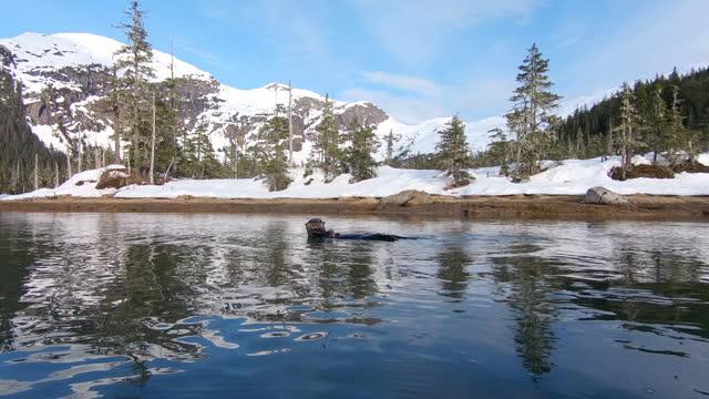 vídeos de stock, filmes e b-roll de slomo waterlevel track round sea otter eating in sea in snowy landscape then diving - invertebrado