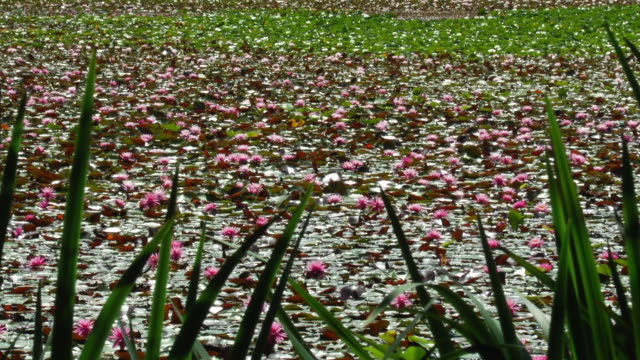 waterlilies blanket a pond in cortes island, british columbia. - wasserpflanze stock-videos und b-roll-filmmaterial