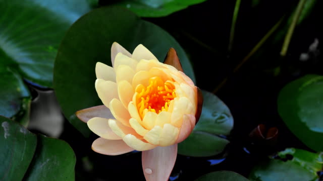 Waterlily timelapse