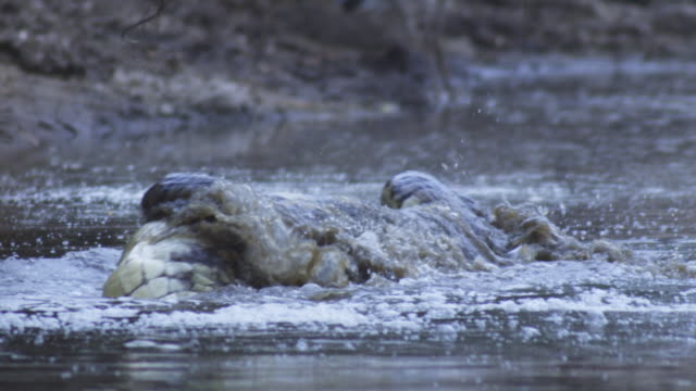 SLOMO waterline CU Nile crocodile deathroll in river