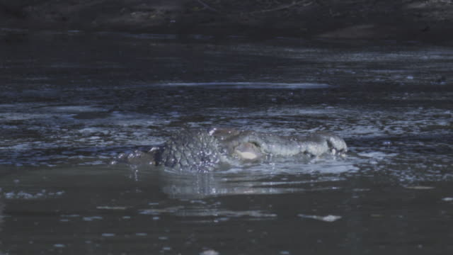 slomo waterline cu nile crocodile rolling in river - rolling stock videos & royalty-free footage