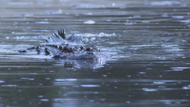 slomo waterline cu nile crocodile swims directly at camera - ambush stock videos and b-roll footage