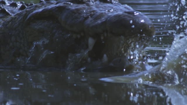 slomo waterline cu nile crocodile swims to camera and attacks second crocodile - crocodile stock videos and b-roll footage