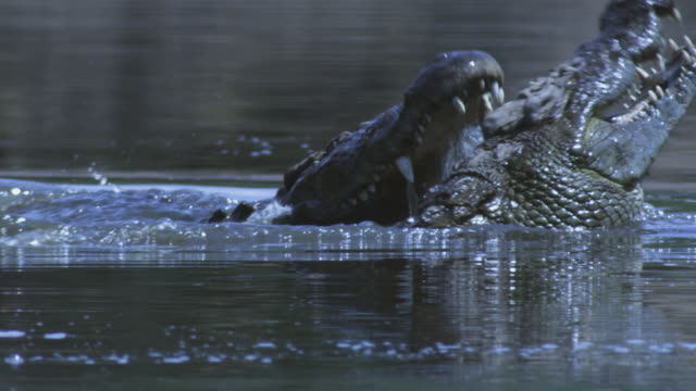 SLOMO waterline CU Nile crocodiles fighting in river