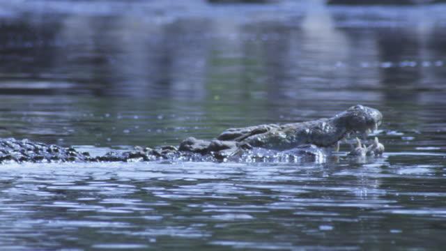 slomo waterline cu nile crocodiles fighting in river  - two animals stock videos & royalty-free footage