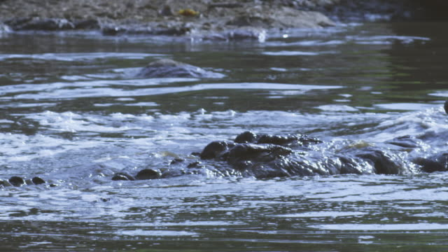 slomo waterline cu nile crocodiles squabble over floating wildebeest carcase  - crocodile stock videos & royalty-free footage
