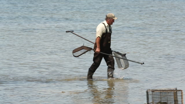 ws pan waterman walking ashore with clam harvesting rakes / oyster, virginia, usa - reed grass family stock videos and b-roll footage