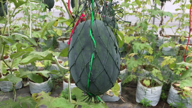 watermelon fruit hanging on net - netting stock videos & royalty-free footage