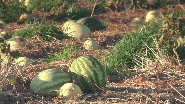 MS Watermelons on vine in field / Hobbs, New Mexico, United States