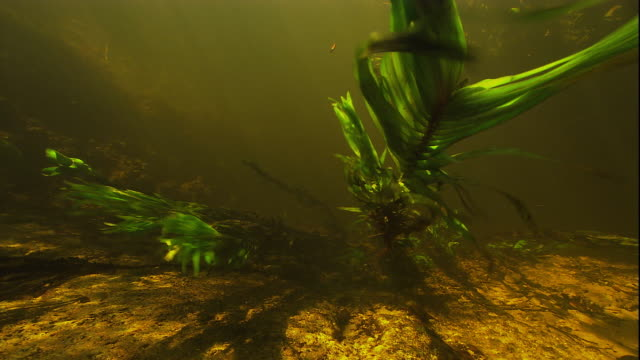 a waterweed sways in a river current. available in hd. - blattfiedern stock-videos und b-roll-filmmaterial
