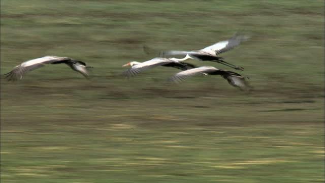wattled crane flock flying off bangweulu marsh, zambia, africa - eurasischer kranich stock-videos und b-roll-filmmaterial