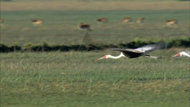 wattled crane flock flying over bangweulu marsh, zambia, africa - eurasischer kranich stock-videos und b-roll-filmmaterial