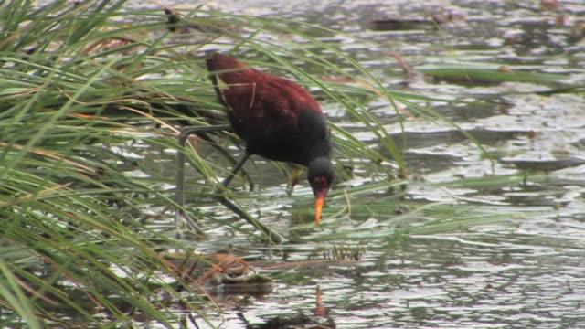 MS PAN Wattled Jacana (Jacana jacana) wading near reeds in river in Manu National Park / Peru