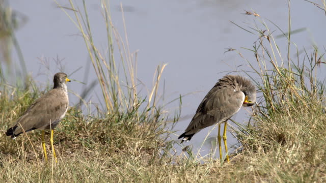 wattled plover - eyal bartov stock videos and b-roll footage