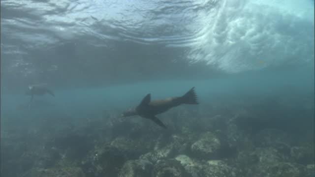 stockvideo's en b-roll-footage met wave rolls in over swimming galapagos sealions (zalophus wollebaecki), galapagos islands - ecuador