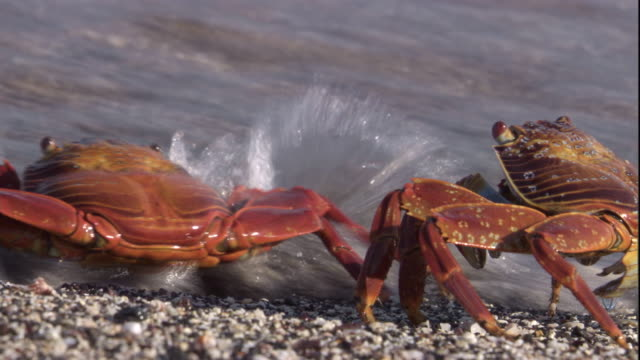 A wave washes away two sally lightfoot crabs. Available in HD.